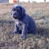 neapolitan mastiff puppies near me