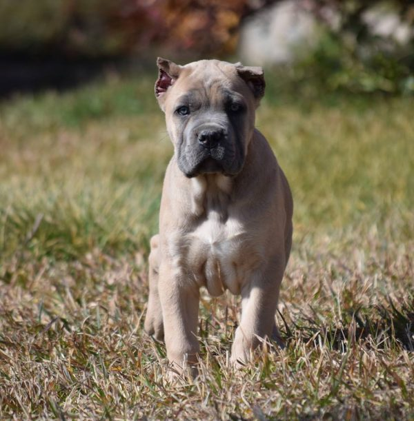 cane corso puppies for sale in nc