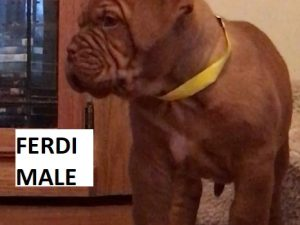 french mastiff puppies for sale in california