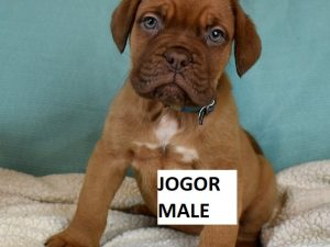 french mastiff puppies for sale in texas