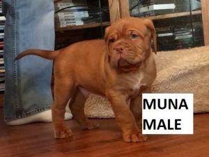 french mastiff puppies for sale near me