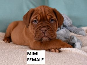 french mastiff puppies for sale in nc