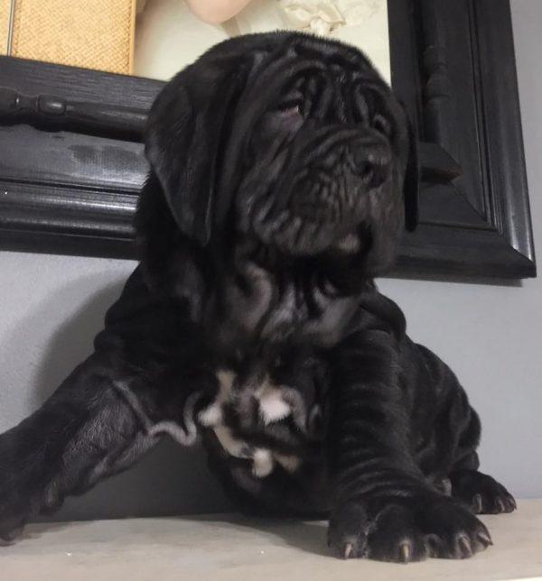 neapolitan mastiff puppies houston