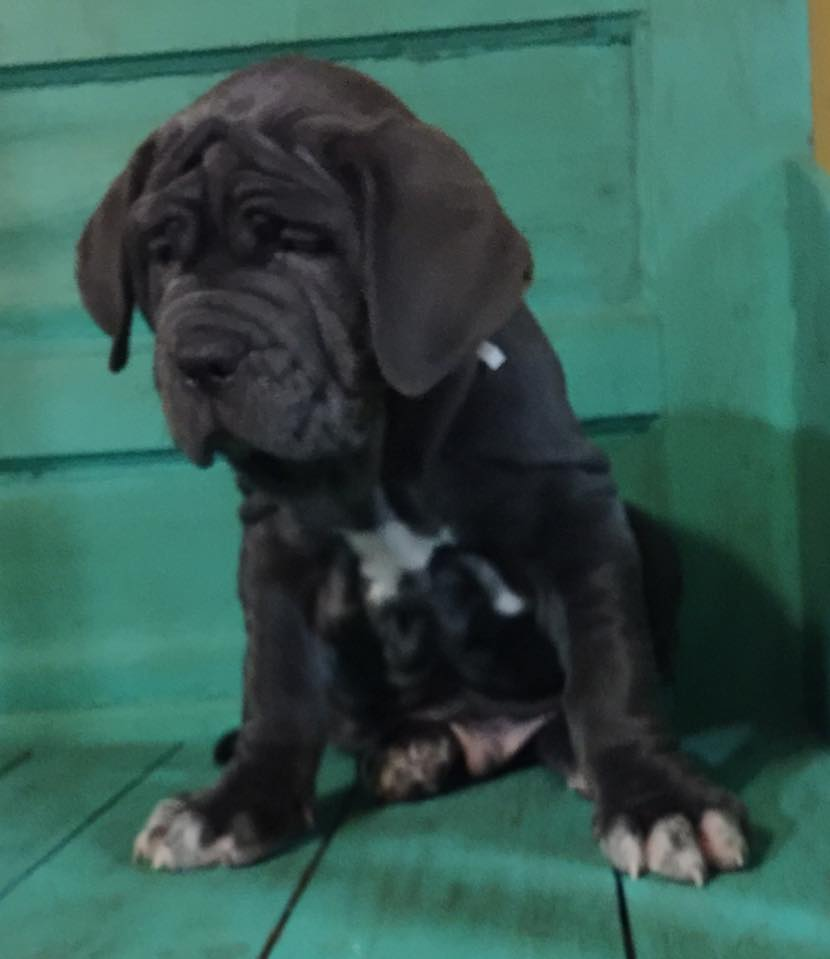 neapolitan-mastiff-puppy-for-sale-texas