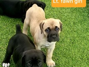 cane corso puppies for sale in indiana