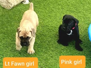 cane corso puppies for sale in michigan