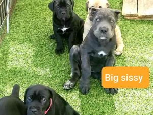 cane corso puppies for sale in texas