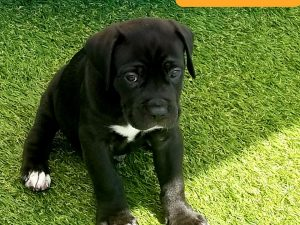 cane corso puppies for sale with cropped ears