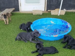 cane corso puppies with tail for sale